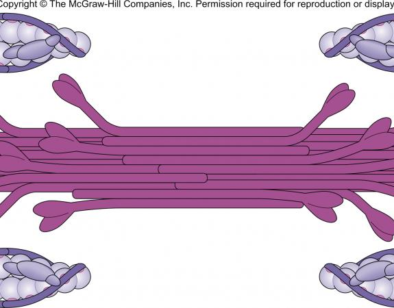 Muscle Unit of contraction = Sarcomere